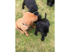 cuccioli labrador neri e rossi