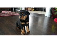 Cuccioli di Rottweiler maschili e femminili