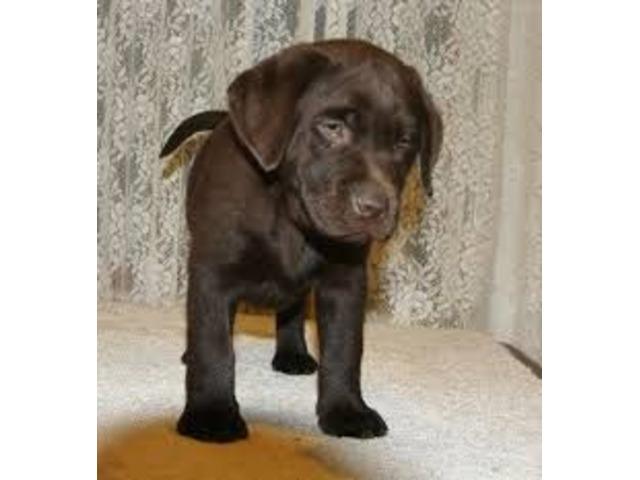 Labrador cuccioli affascinanti