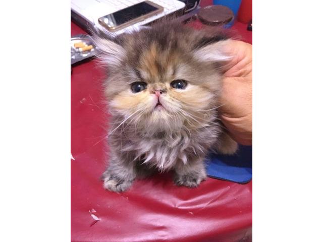 Gattini persiani prenotabili