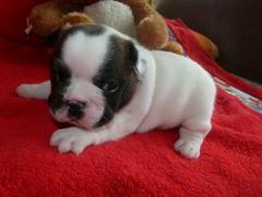 Adorabile Bulldog francese di 3 mese lo consegniamo subito con il doppio vaccino,...