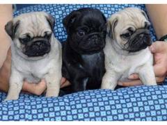 3 cuccioli di carlino
