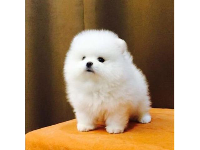Due Bellissimi cuccioli di Pomeranian, Maschietti e Femminucce, con Pedigree ENCI/FCI... - 1