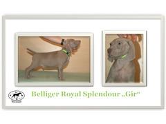 Weimaraner short-haired with pedigree - male dog