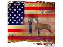 American staffordshire terrier - 2