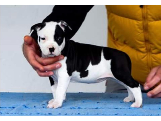 American staffordshire terrier - 5/8
