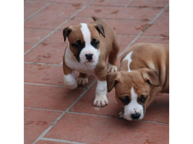 American staffordshire terrier - 6/8