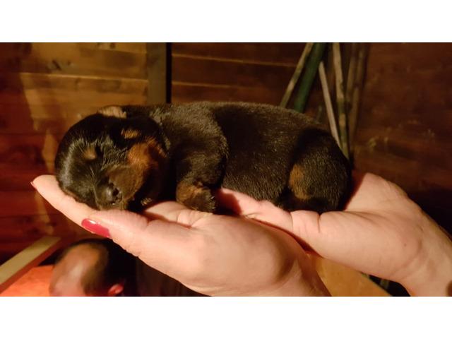 Cuccioli di rottweiler
