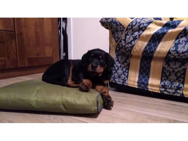 Cuccioli di rottweiler - 2