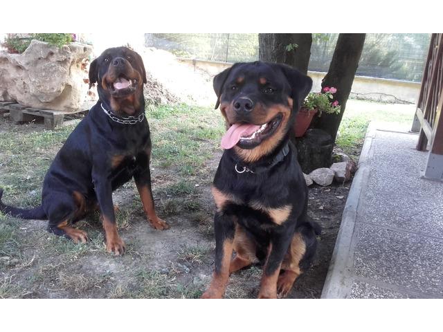 Cuccioli di rottweiler - 3