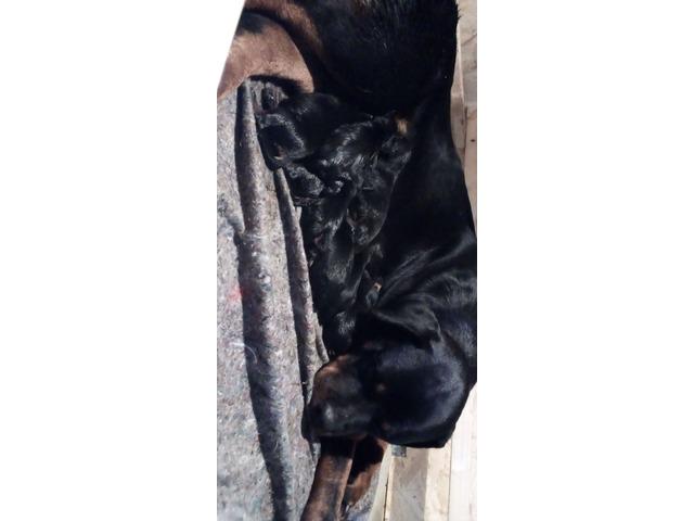 Cuccioli di rottweiler - 4