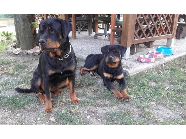 Cuccioli di rottweiler - 5
