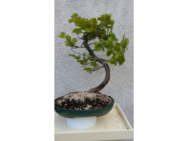 bonsai faggio