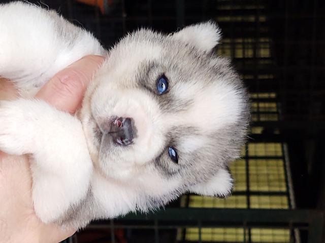 Cuccioli di siberian husky - 2
