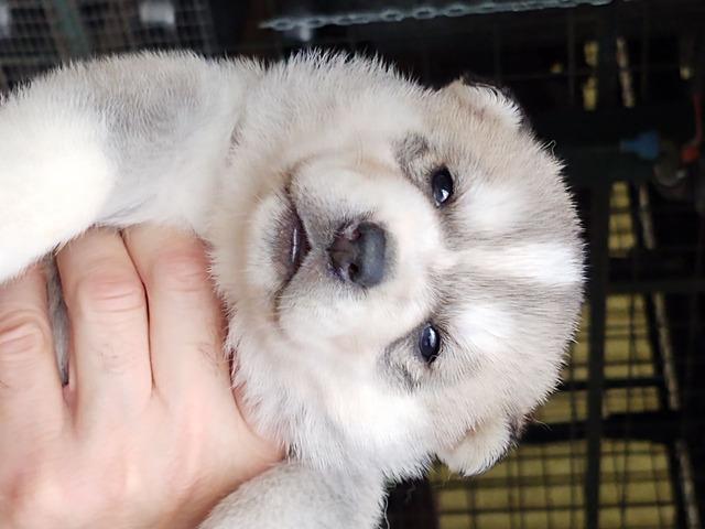 Cuccioli di siberian husky - 3