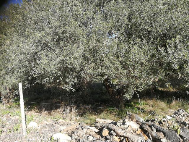 Piante di ulivo - 8