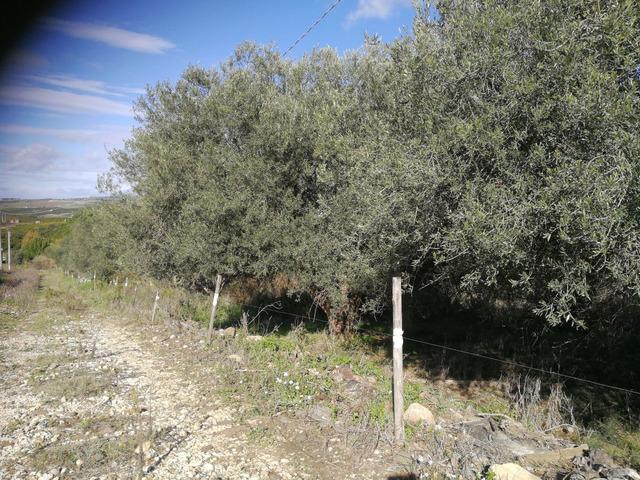 Piante di ulivo - 9