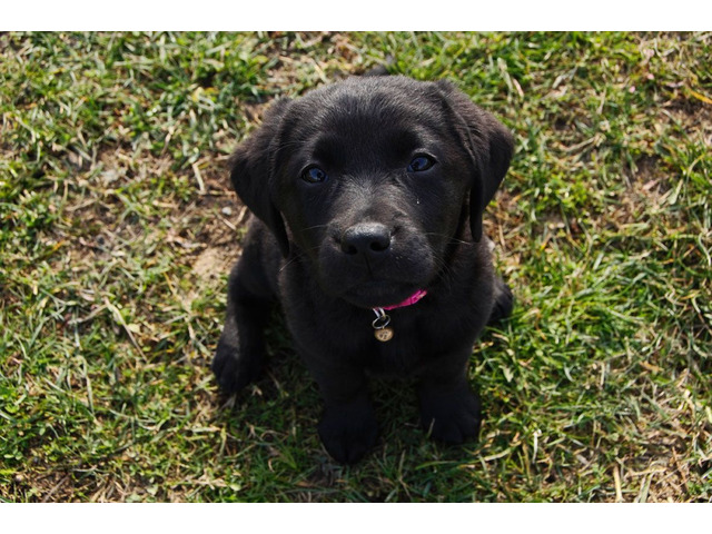 Cuccioli di Labrador Retriever neri di 2 mesi e mezzo