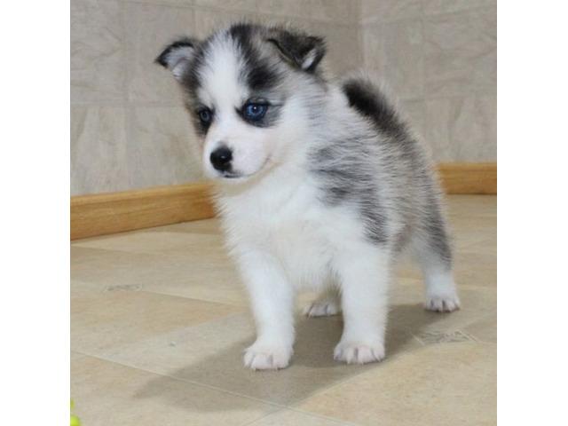 cucciolo di pomsky e  husky