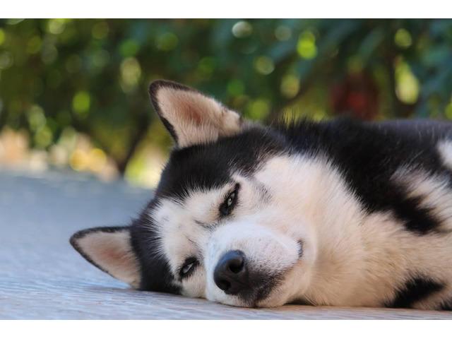 Cerco Husky femmina per accoppiamento - 1