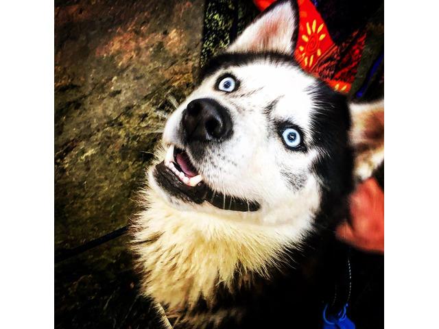 Cerco Husky femmina per accoppiamento - 3