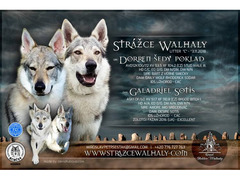 Czechoslovakian Wolfdog puppies with pedigree