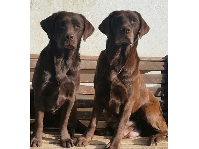 Labrador chocolate con pedigree