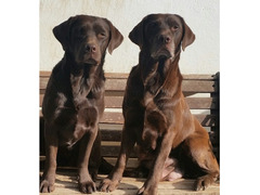 Labrador chocolate con pedigree