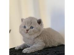 Gattino maschio e femmina britannico