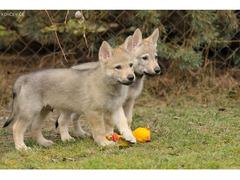 "Czechoslovakian Wolfdog - puppies ""B"" litter z Jevanskeho lesa"