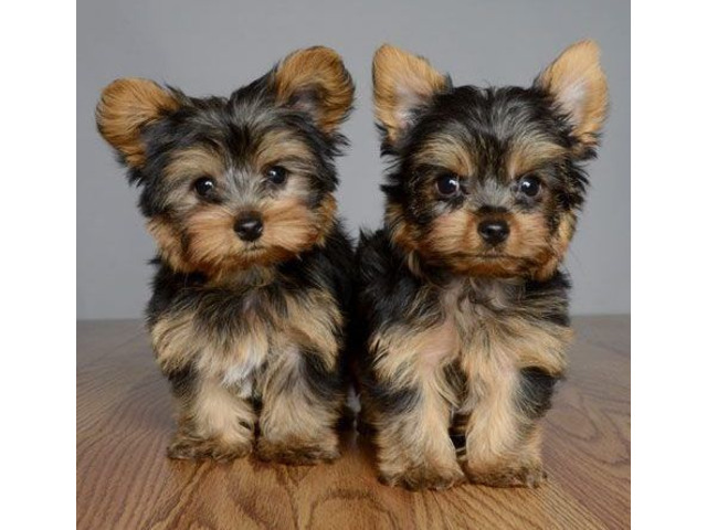 2 cuccioli di yorkshire terrier