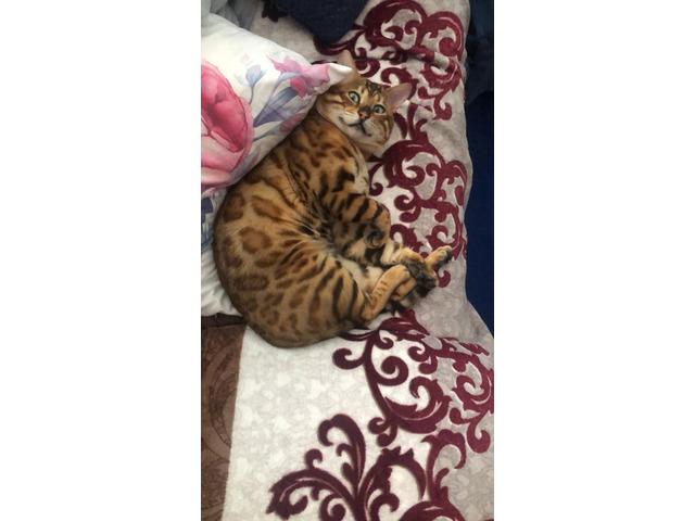 Gatto Bengala da riproduzione - 4