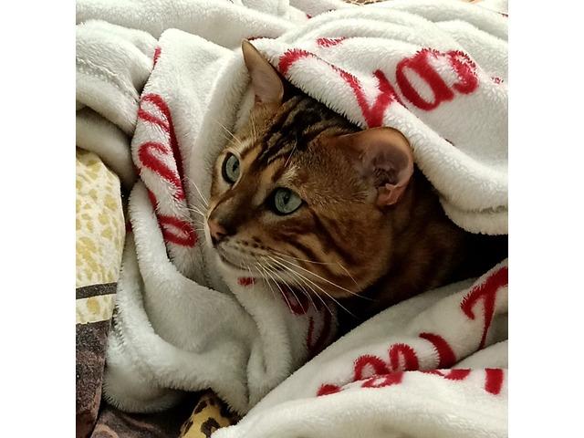 Gatto Bengala da riproduzione - 7