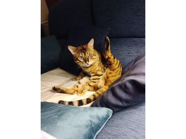 Gatto Bengala da riproduzione - 9