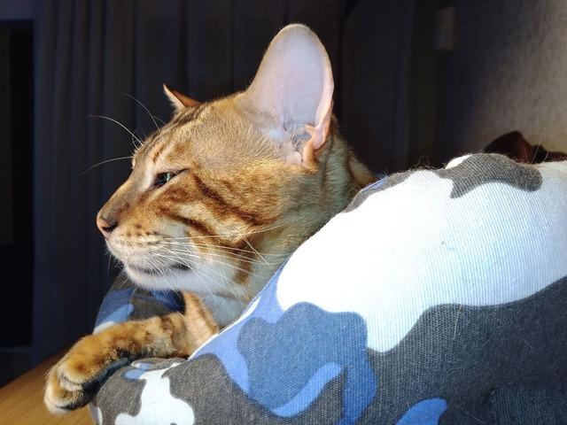 Gatto Bengala da riproduzione - 10