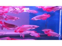 Disponibili Arowana Pesce di circa 5 - 30 cm