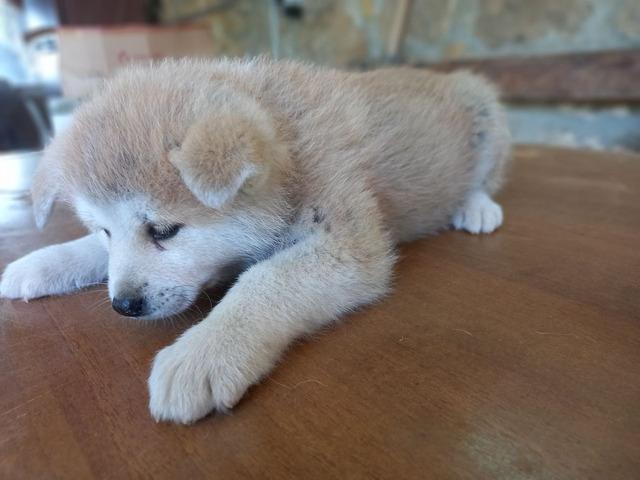 Cuccioli Akita Inu con pedigree - 2