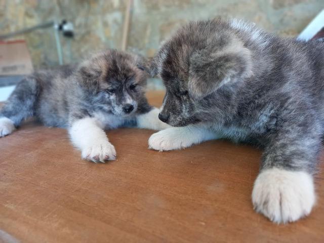 Cuccioli Akita Inu con pedigree - 4