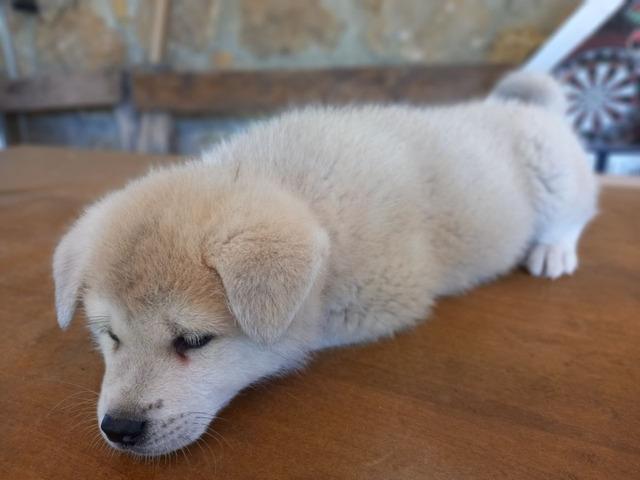 Cuccioli Akita Inu con pedigree - 6