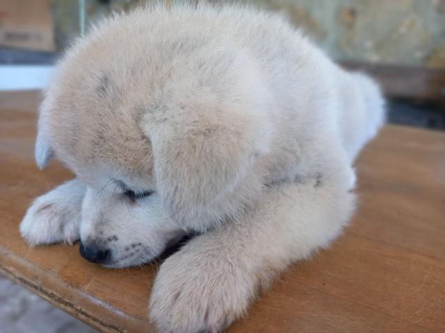 Cuccioli Akita Inu con pedigree - 7