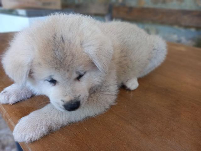 Cuccioli Akita Inu con pedigree - 8