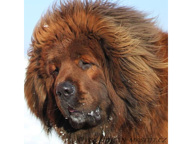 Tibetan Mastiff FCI puppies red
