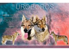 """Lupo Cecoslovacco, puppy with pedigree """"A"""" UROBOROS"""