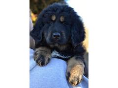Tibetan Mastiff (Do-Khyi) puppies with pedigree