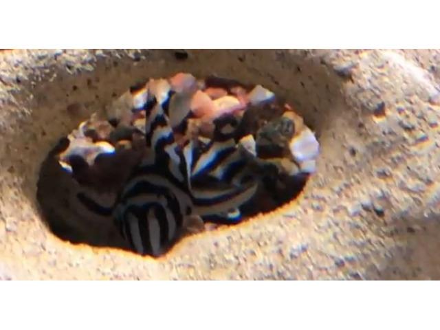 L46 Hypancistrus Zebra in vendita
