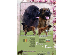 Leonberger puppies with pedigree