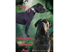 Cuccioli di cane corso con pedigree