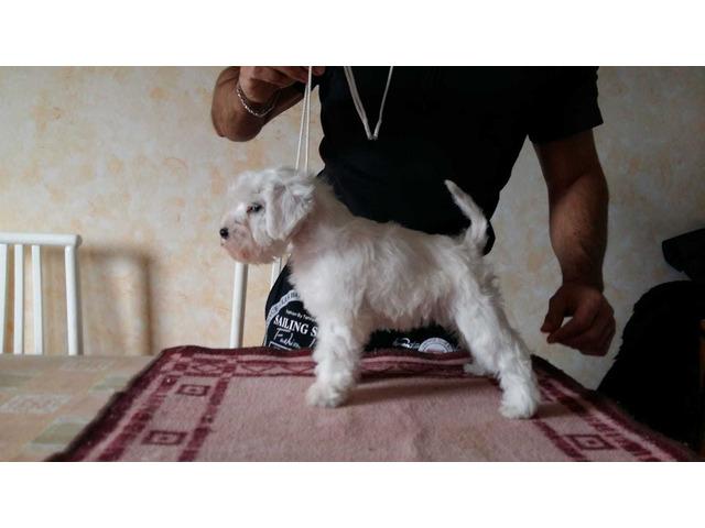 cuccioli schnauzer nano bianco