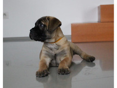 Bullmastiff - puppies with pedigree for sale