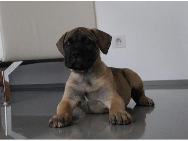 Bullmastiff - puppies with pedigree for sale - 3
